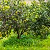 Alberi di Bergamotto