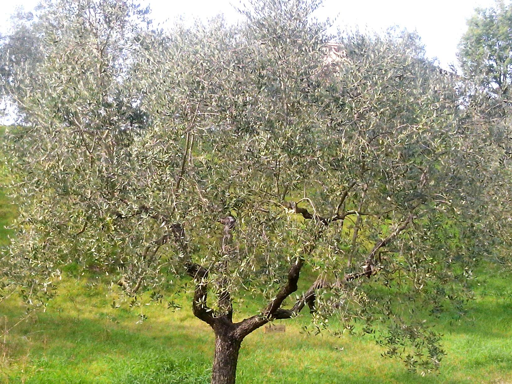 adotta un olivo