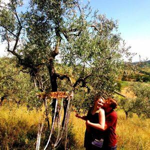 adopting olive tree in Tuscany