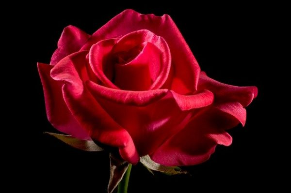 Red Rose Valentin's Day