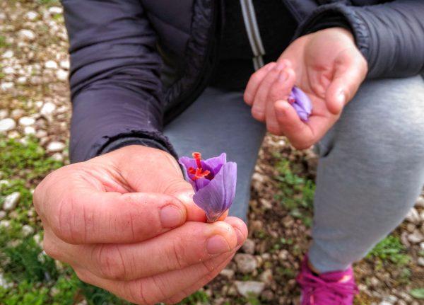 Saffron in Abruzzo
