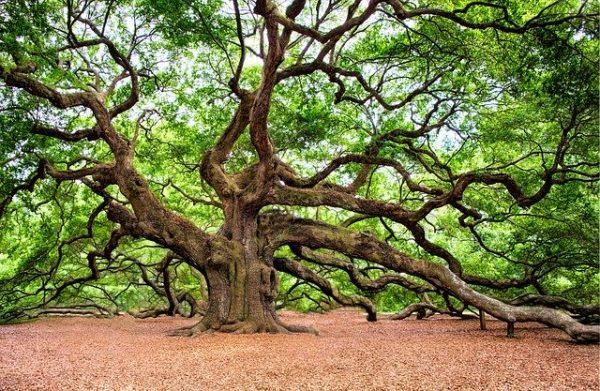 Umbria Oak tree