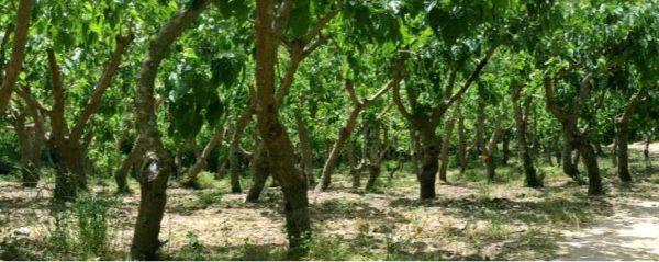 alberi di gelso