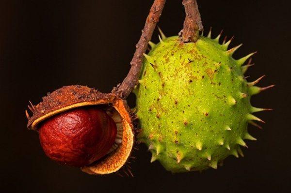 adotta un albero di castagno