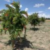 Adopting a pomegranate tree
