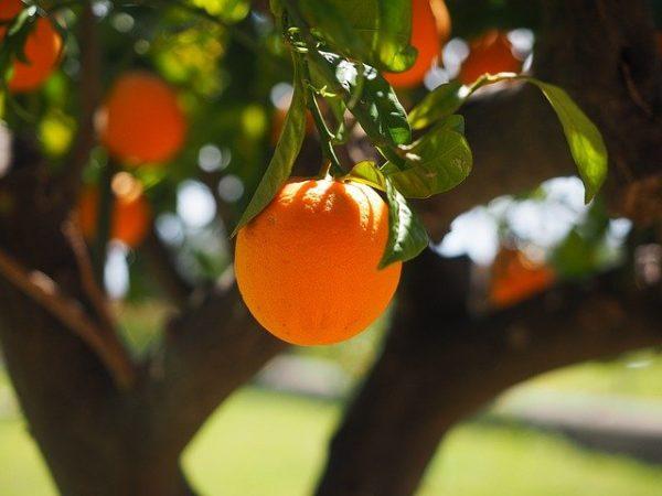 adotta un albero di arance