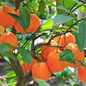 adopt an orange tree